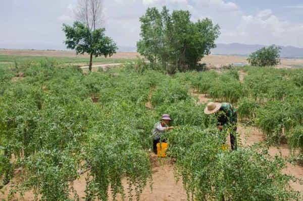 【我们怎么做】每十元,就能为西北荒漠里的贫困农户提供一株枸杞树,您捐赠的树将得到受助农户长期的悉心照料。每一棵树,受助农户将为您种在西部荒漠土地上,经过专业技术指导,栽培成活可生长百年之久,持续改善荒漠化,不断抵御沙尘暴,也给农户自力更生摆脱贫困的机会。您种下的每棵树,都有专人守护。请您也一起加入我们,一起减少中国的风沙雾霾。